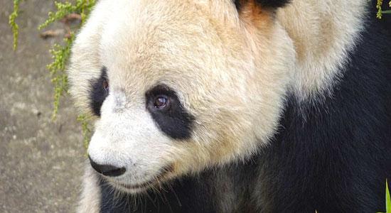 panda-300943_640